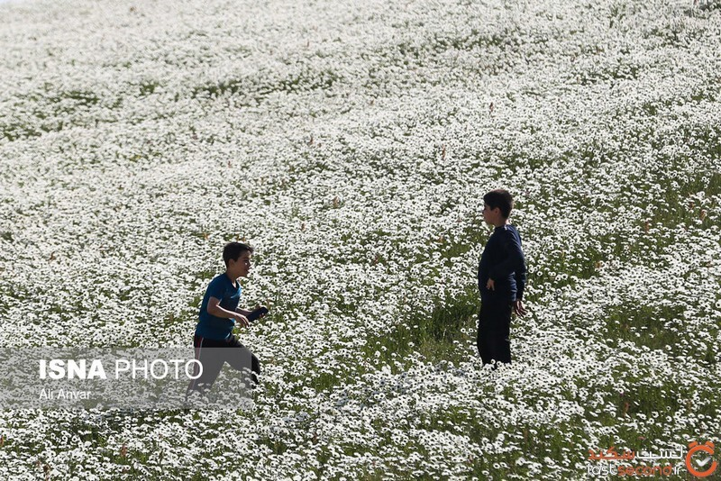 مزارع گلهای بابونه
