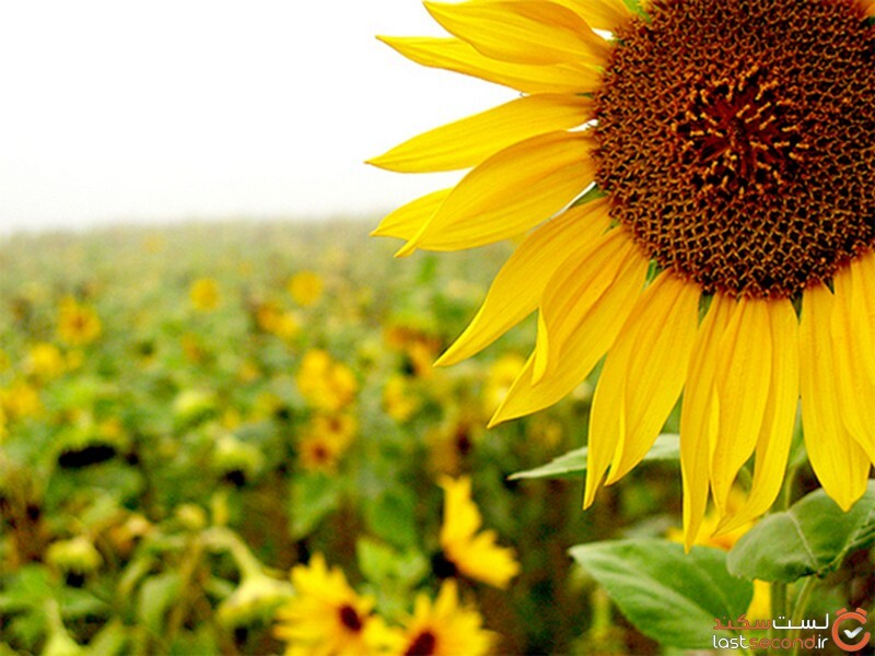 گل آفتابگردان سمنان