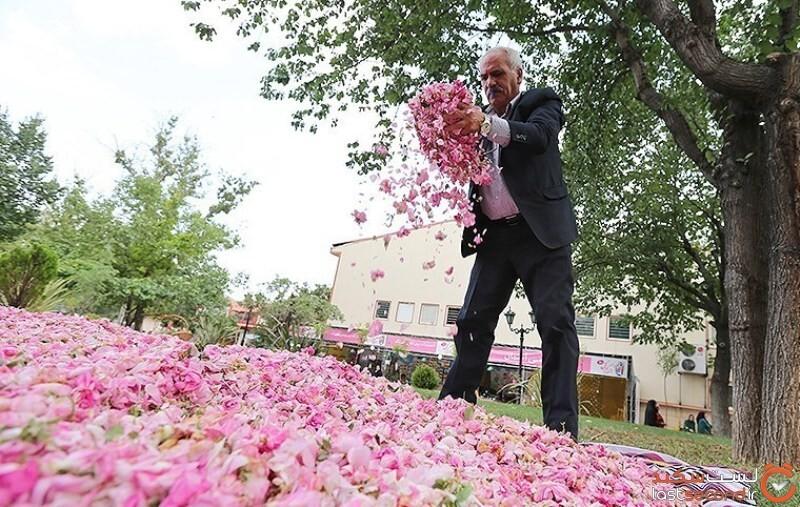 گل محمدی در لایزنگان