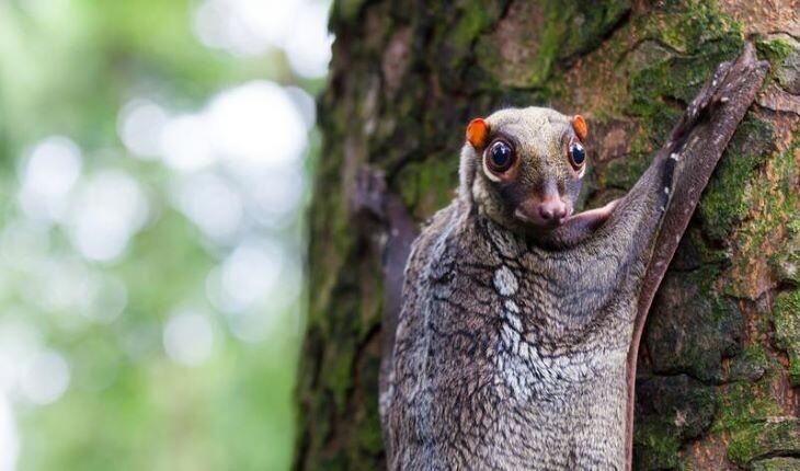 کولوگو یا سمور پرنده؛ با جانوری ناشناخته از آسیای جنوبی آشنا شوید