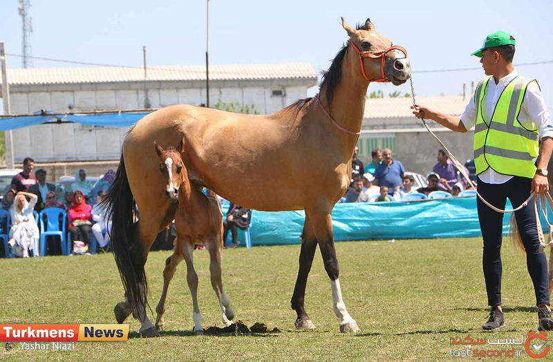 اسبهای ترکمن