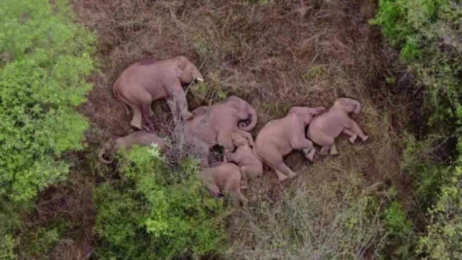 تصاویر جالب از مهاجرت گروهی فیل ها در چین!
