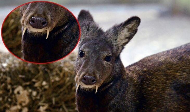 آهوی ختن یا گوزن خون آشام، خوشبوترین جانور دنیا را بشناسید!