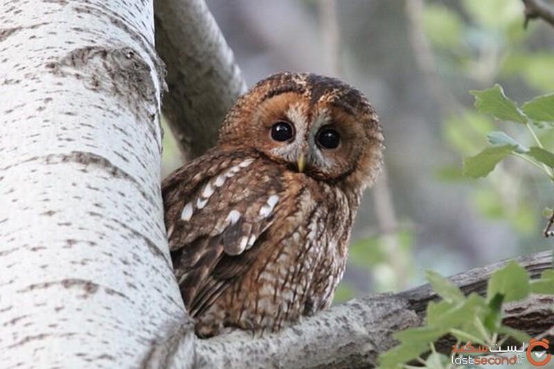 جغد جنگلی Tawny Owl