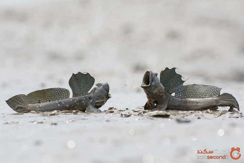 ماهی گلخورک