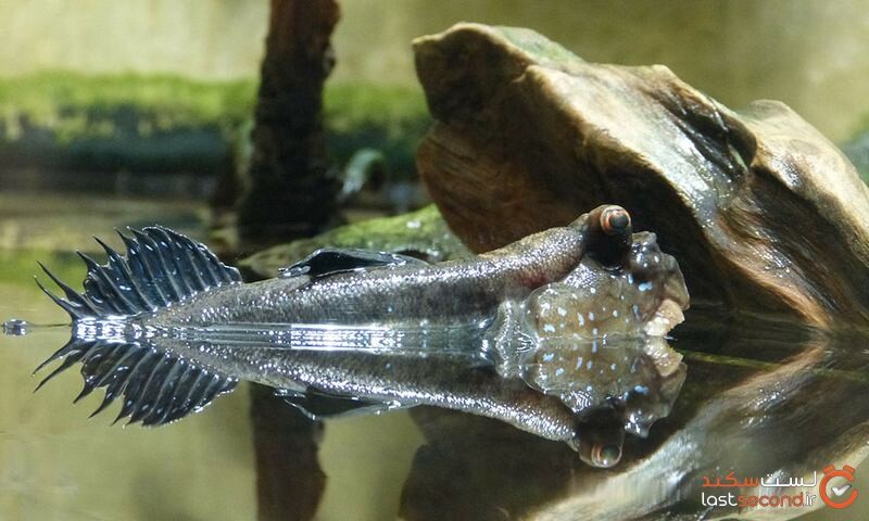 ماهی گل خورک