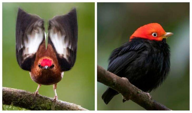 رنگینک؛ پرنده ای که با بالهایش صدا تولید میکند و میرقصد