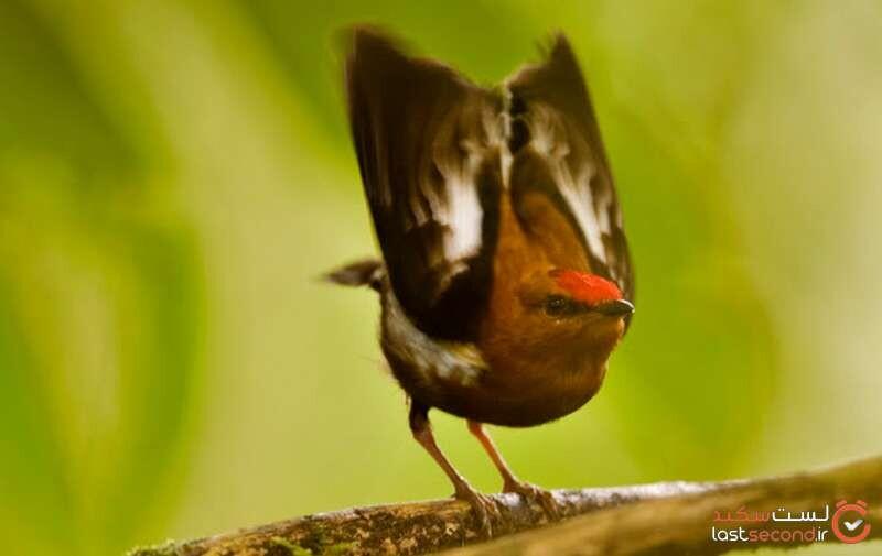 پرنده رنگینک