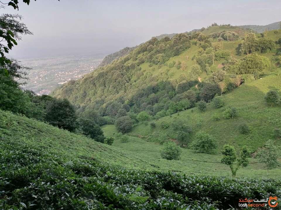 مزارع چای