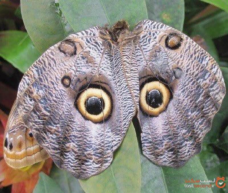 پروانه جغد مانند