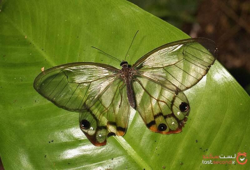 زیباترین پروانه