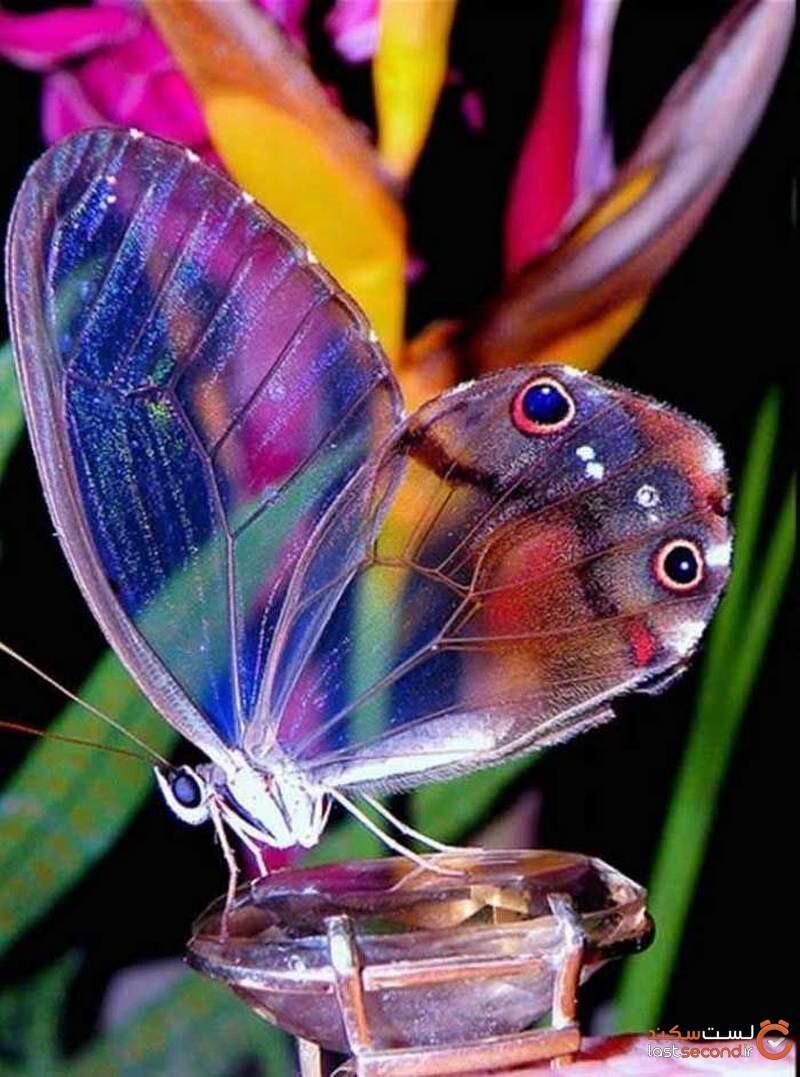 زیباترین پروانه جهان