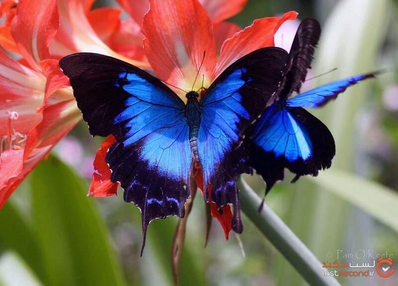 زیباترین پروانه ها