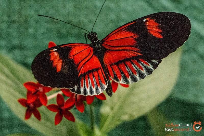 انواع پروانه