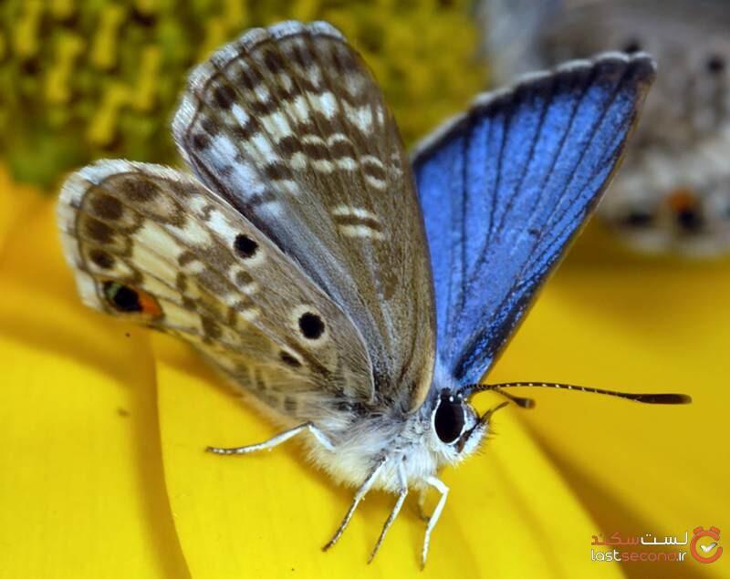 کم یاب ترین پروانه دنیا