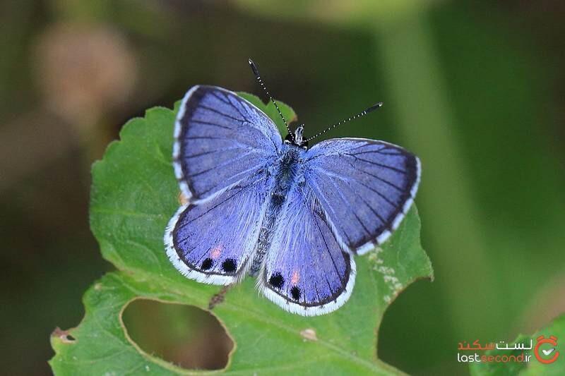 پروانه آبی رنگ
