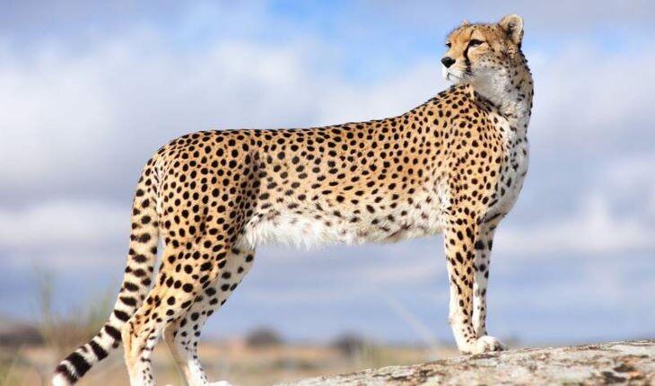 یوزپلنگ ایرانی؛ معرفی، آخرین اطلاعات و عکس یوزپلنگ ایرانی