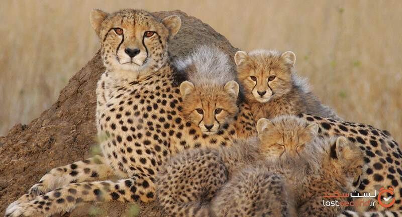 معرفی یوزپلنگ ایرانی