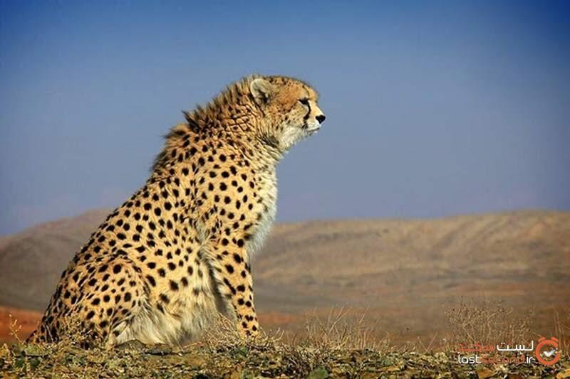 یوزپلنگ ایرانی