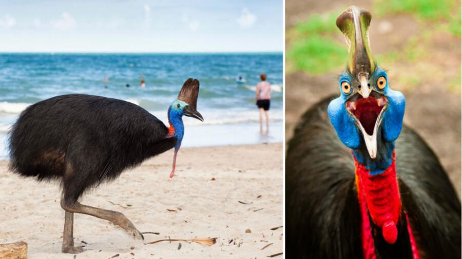 کاسوآری، خطرناکترین پرنده جهان!