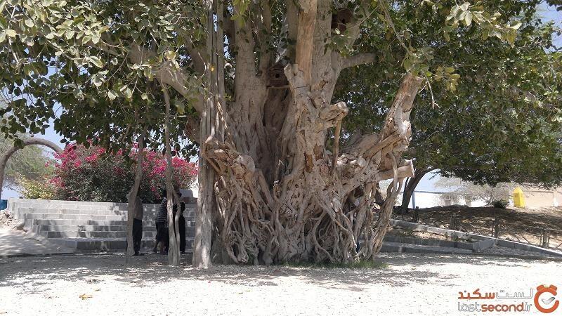 درخت انجیر کیش
