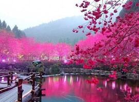 شکوفه های گیلاس در ژاپن ( ویدئو )